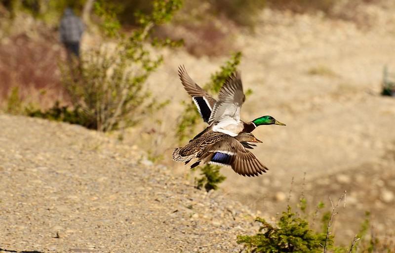 Ducks (Mallard)