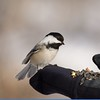Black Capped Chickadee