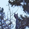 Woodpecker (Pilated)