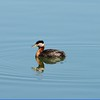Grebe (Red Necked)