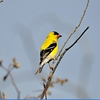 Finch (American Goldfinch)