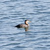 Grebe (immature Red Necked)