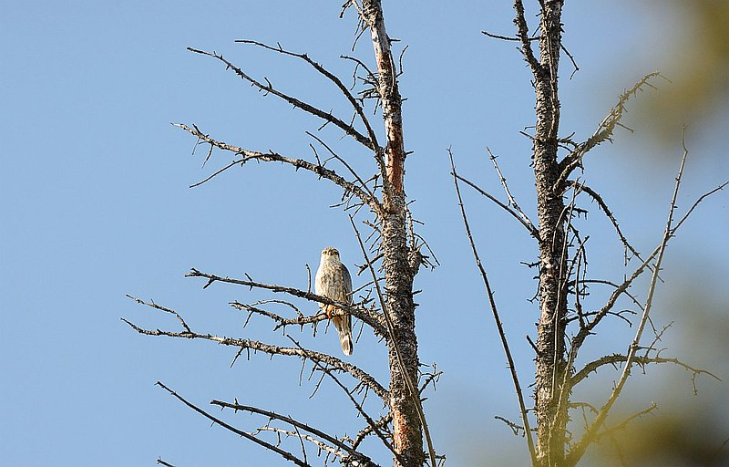 Falcon (Merlin)