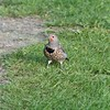 Flicker (immature)