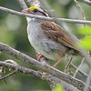 Sparrow (White Throated)