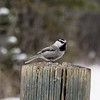 Chickadee (Mountain)
