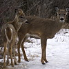 Deer (White Tailed)