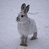 Hare (snow shoe)