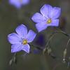 Flax (Blue)