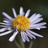Aster (Showy)