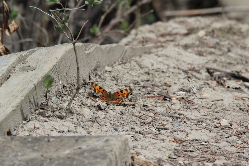 Butterfly (Polygonia)