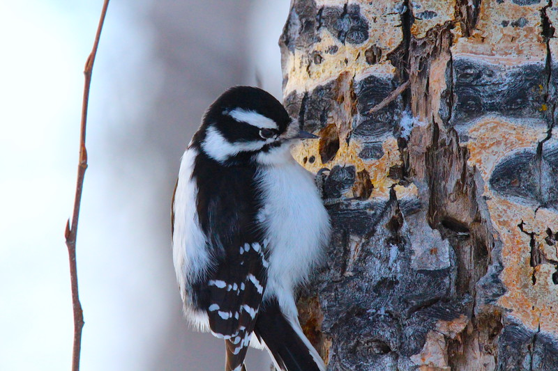 Woodpecker  (downy female)