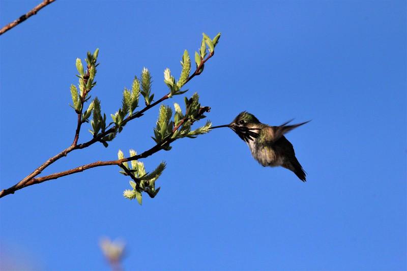 Hummingbird (Calliope) male