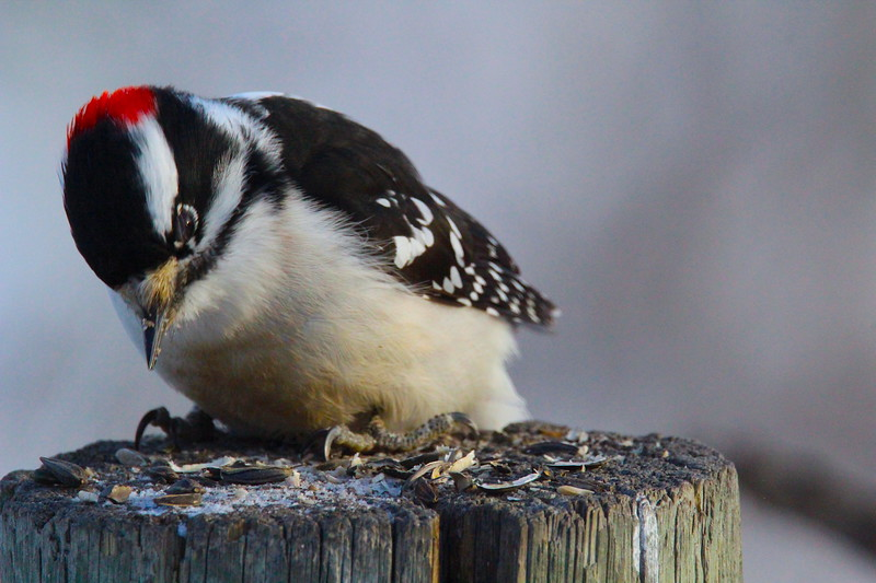 Woodpecker  (downy Male)