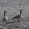 Goose (Canada) geese