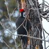 Woodpecker (pileated)