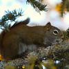 Squirrel (Red)