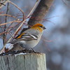 Pine Grosbeak (female)