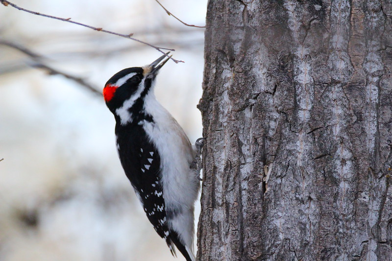 Woodpecker (Hairy-Male)