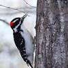 Woodpecker (Hairy-Male)