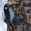 Woodpecker  (downy female)