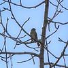 Sparrow (American Tree)  Tyler Dixon