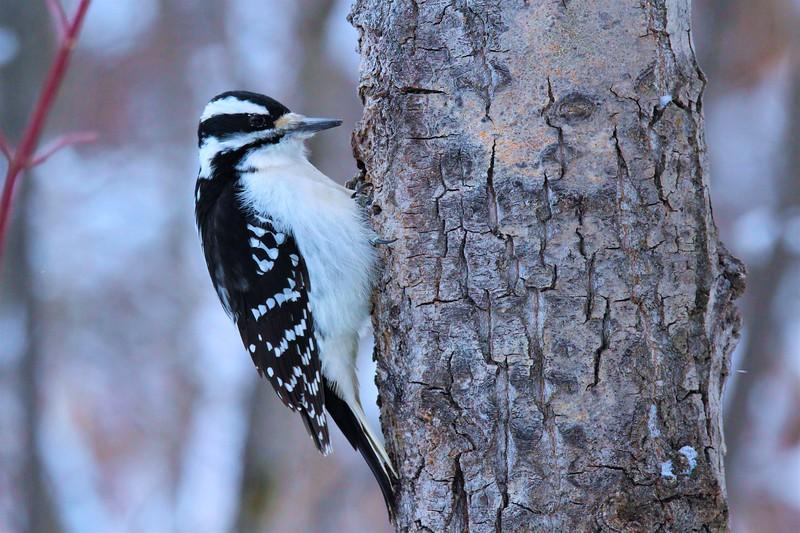 Woodpecker  (Hairy female)
