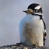 Woodpecker  (downy male)