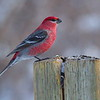 Pine Grosbeak (male)