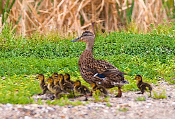 Famille de Canards
