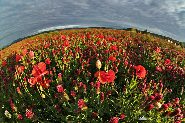 Colorful poppy and clover fields near Mengeš