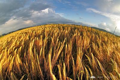 Fields around Mengeš - Jun 8, 2008