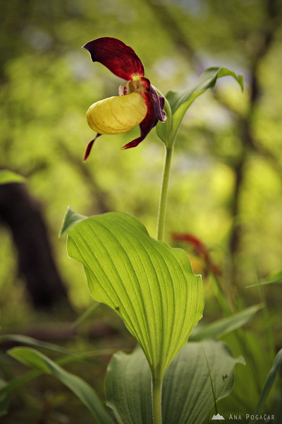 Lady's slipper