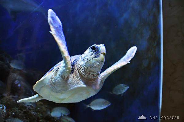 Piran Aquarium - turtle