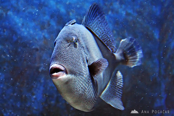 Piran Aquarium - triggerfish