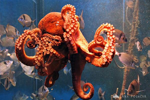 Piran Aquarium - octopus