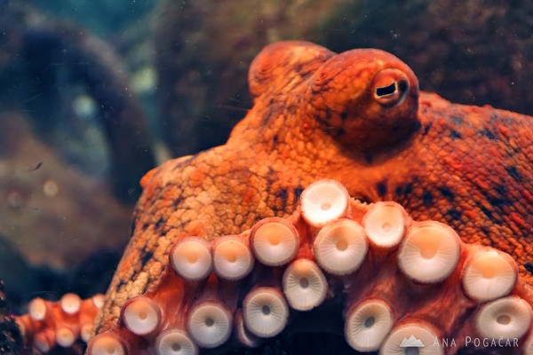 Piran Aquarium - octopus