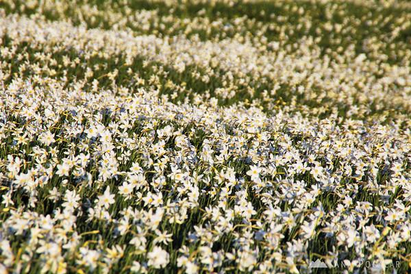 A field of daffodils