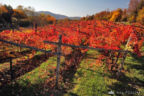A vineyard in the Karst region