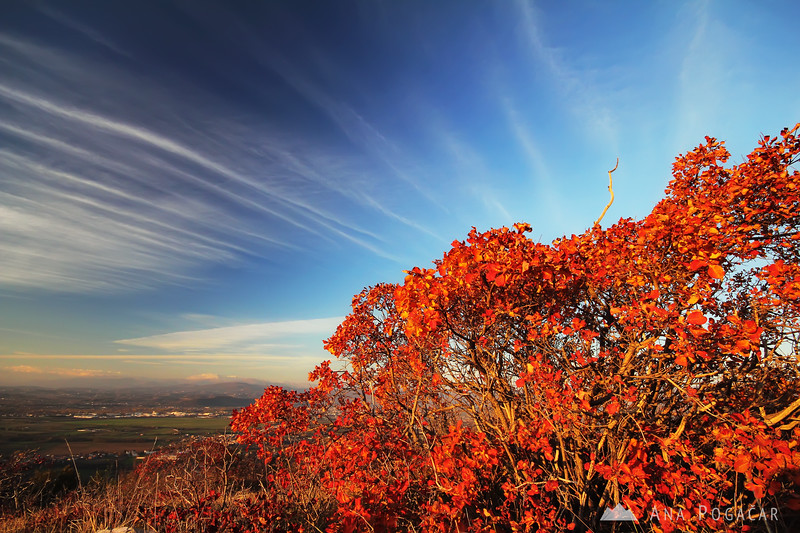 Fiery smoke tree in the Karst region