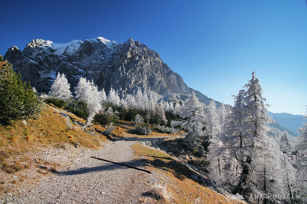Frosty larches at the Vršič pass and Mt. Prisojnik in the background