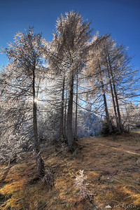 Backlit frosty larches at the Vršič pass