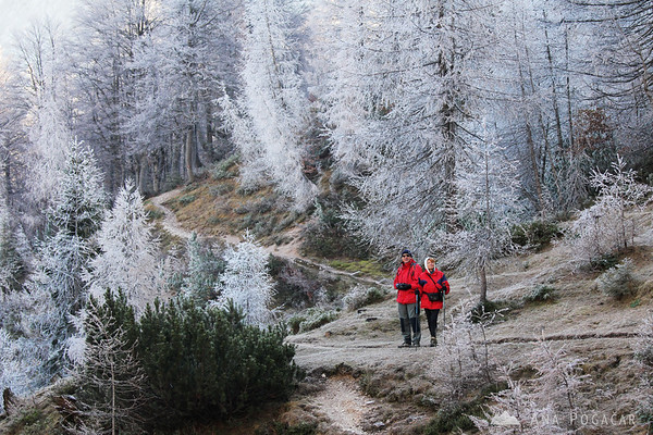 Hikers amidst frosty larches