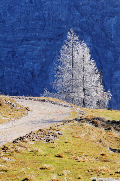 Frost on larches at the Vršič pass