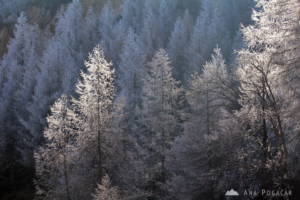 Backlit frosty larches at the Vršič pass