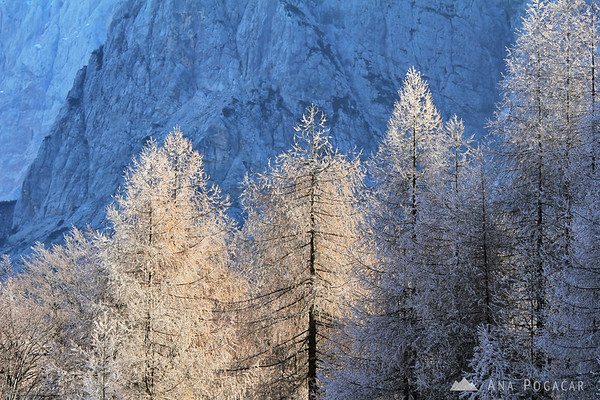 Frosty larches
