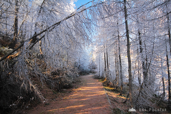 Frosty larches at the Vršič pass