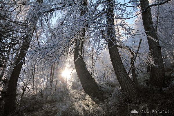 Frosty larches at the Vršič pass