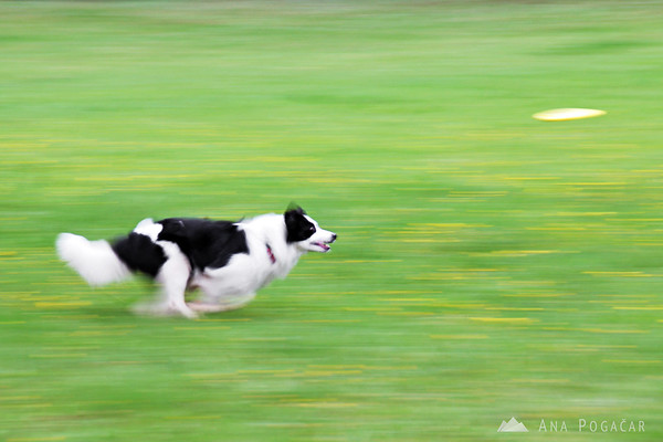 Dog chasing frisbee