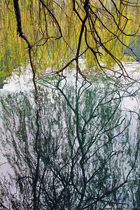 Willow tree reflection in Lake Bled